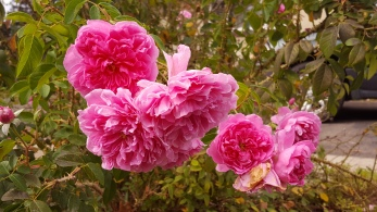 """Rose Care"" in Gardening"